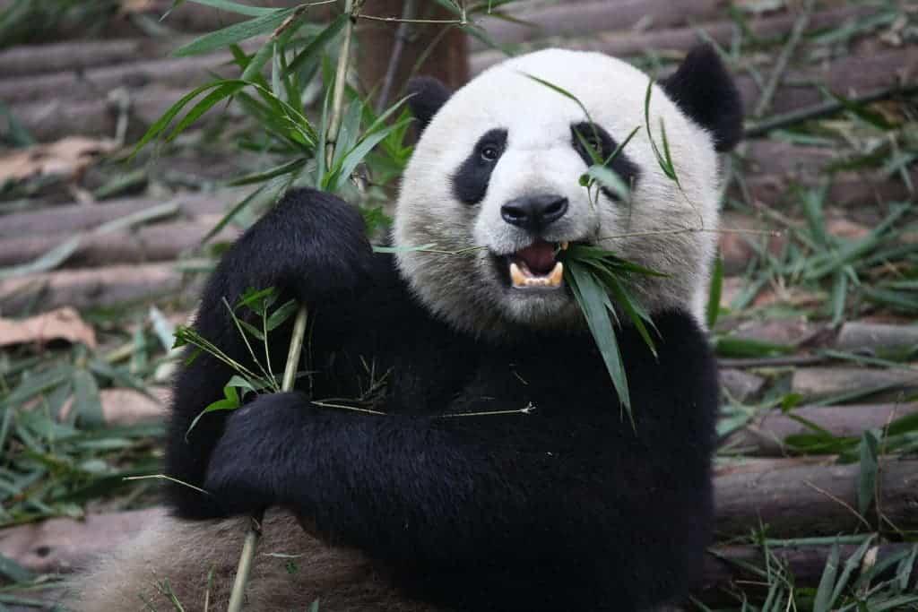 Giant Panda Eating.