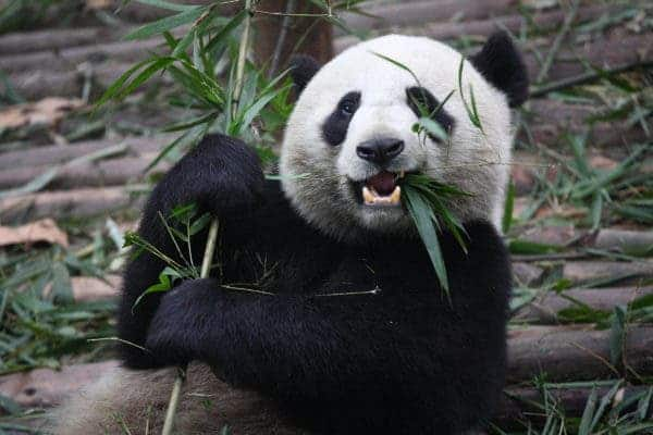 Giant Panda Eating.