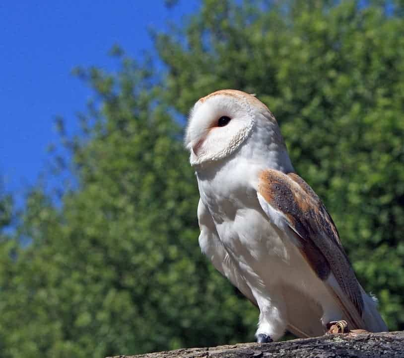 Barn Owl pose.