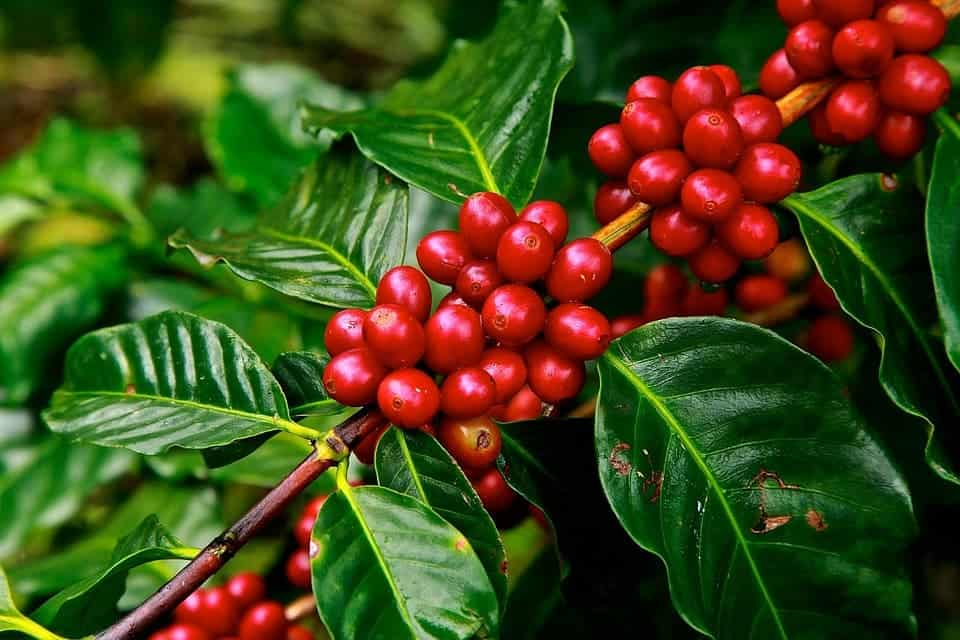 coffee beans 1650788 960 720 Is Coffee Good Or Bad For Your Health
