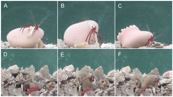A–C, sequence of behaviors to recover from an overturned to upright position in which the hermit crab leans out of the overturned coral (A), grasps the bottom with its ambulatory legs and left cheliped (B), and turns the coral upright using the pleon (C); D–F, sequence of behaviors to overcome burial in sediment, whereby the buried hermit crab (D) pushes away the sediment using its chelipeds and ambulatory legs (E), and then crawls away (F). Credit: PNAS.