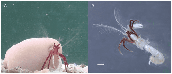 A, an individual in an aquarium, carrying the coral; B, an individual removed from its host coral. Scale bar: 1 mm. Credit: PNAS.