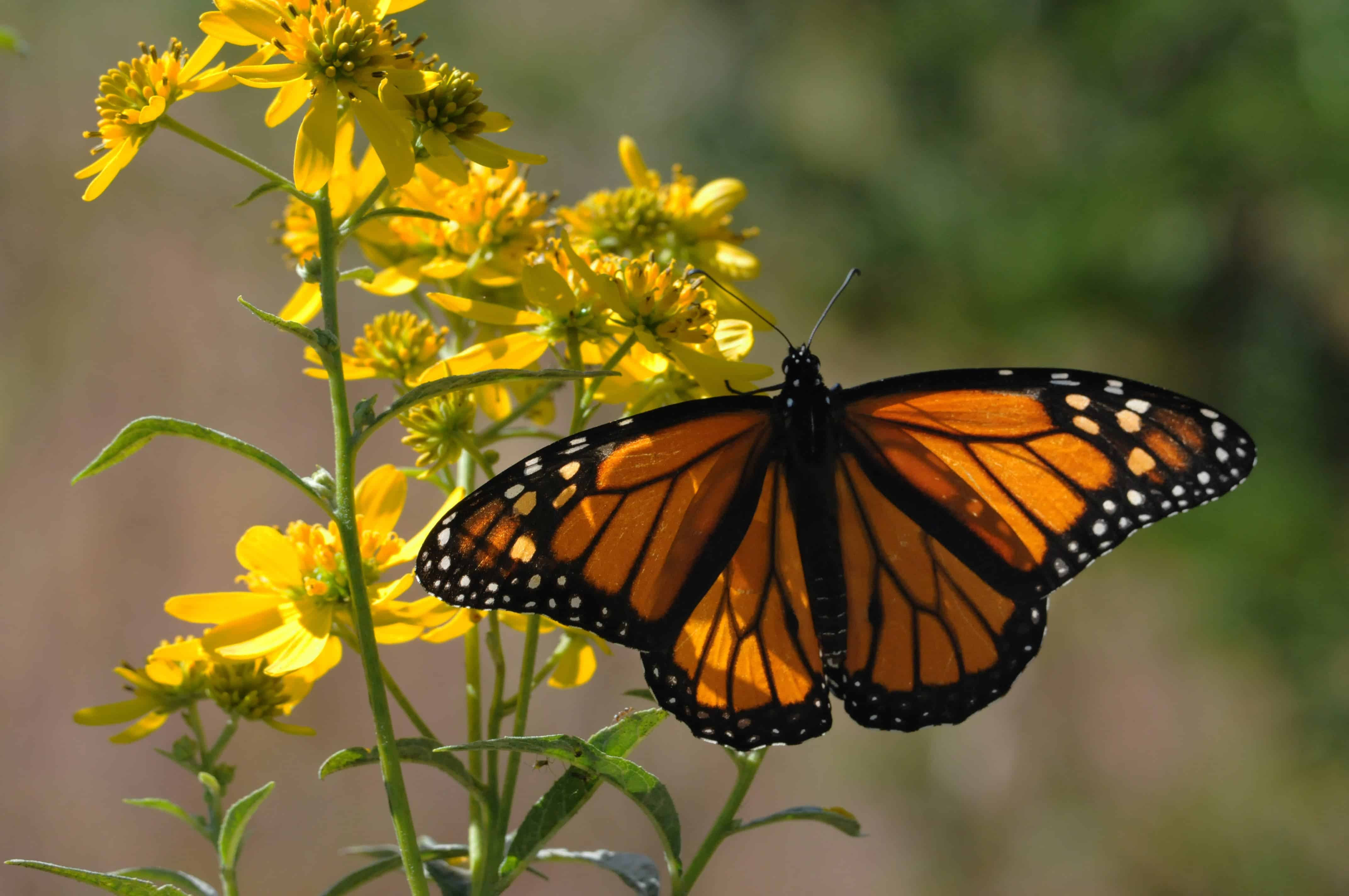 Image result for Western Monarch Day gif