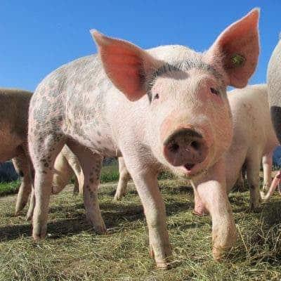 pig organ transplant