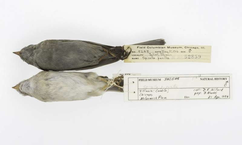 Field Sparrows from The Field Museum's collection. Credit: The University of Chicago and The Field Museum.