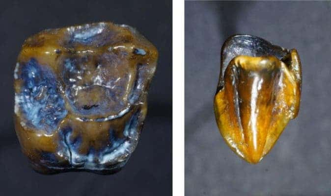 Ancient molar (left) and canine (right) belonging to a yet unidentified ancient ape found in Germany. Credit: Naturhistorisches Museum Mainz.