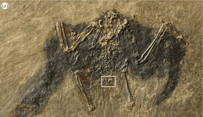 Fossilized bird.