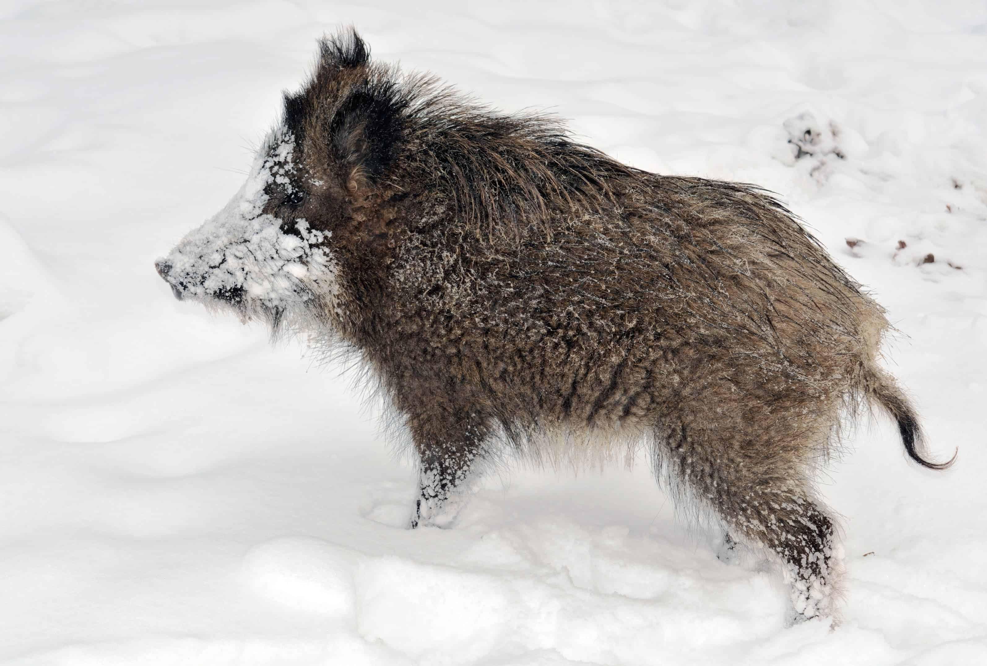Radioactive boars spark concern in Sweden