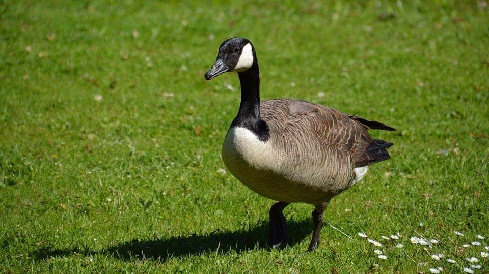 canada goose america