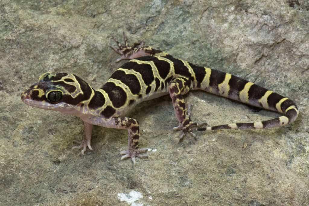 Cyrtodactylus sp. Credit: Dr L. Lee Grismer.