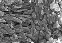 Pigment-storing eumelanosomes (left) and phaeomelanosomes (right) in the fossil feathers. Credit: University of Bristol.