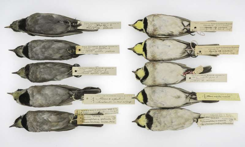Horned Larks from The Field Museum's collections,. On the left row you can see gray birds from the turn of the century and cleaner birds from more recent years on the right. Credit: The University of Chicago and The Field Museum.