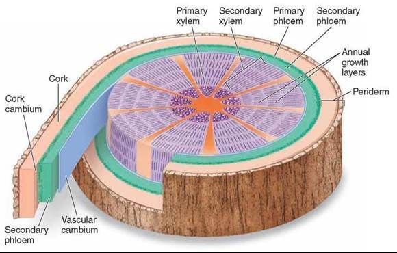 Rings are the result of water carrying vessels called xylem being added each year. Credit: Quora.