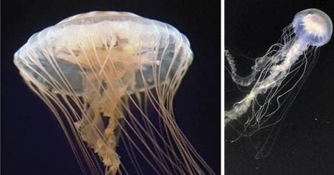 This image shows two different jellyfish. At left is US Atlantic sea nettle (Chrysaora quinquecirrha) and at right is the Atlantic bay nettle (Chrysaora chesapeakei). Credit: Shannon Howard, South Carolina Aquarium; Keith Bayha.