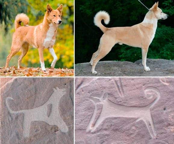 Canaan dog comparison.