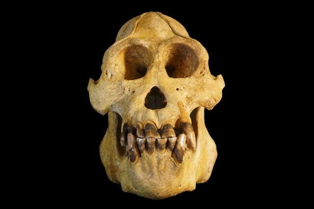 Pongo tapanuliensis skull. Credit: Nater et al.
