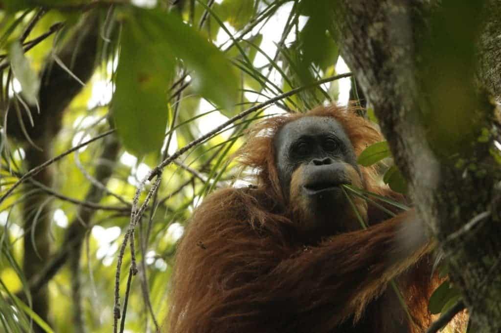 Orangutan from Batang Toru, which scientists now say belongs to a new species. Credit: Tim Laman.