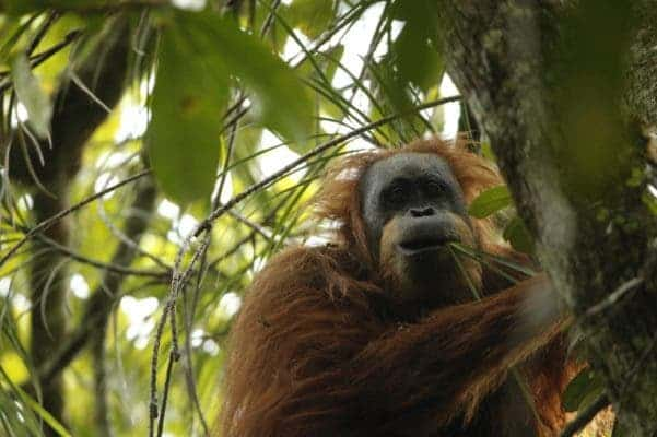 Orangutan from Batang Toru, which scientists now say belongs to a new species. Credit: Tim Laman.
