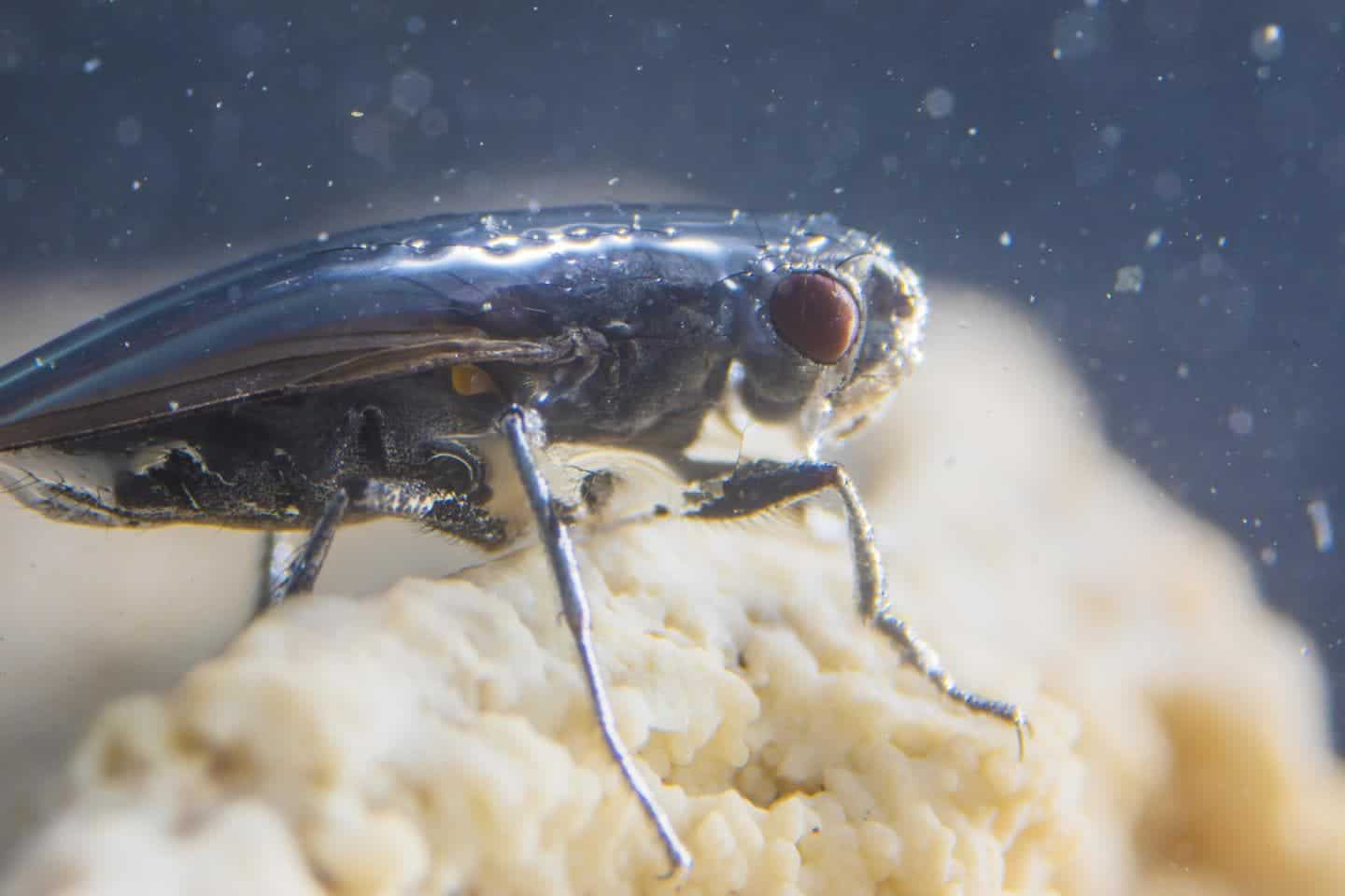 Scientists Discovered Diving Flies: They Can Go Underwater Without Getting Wet