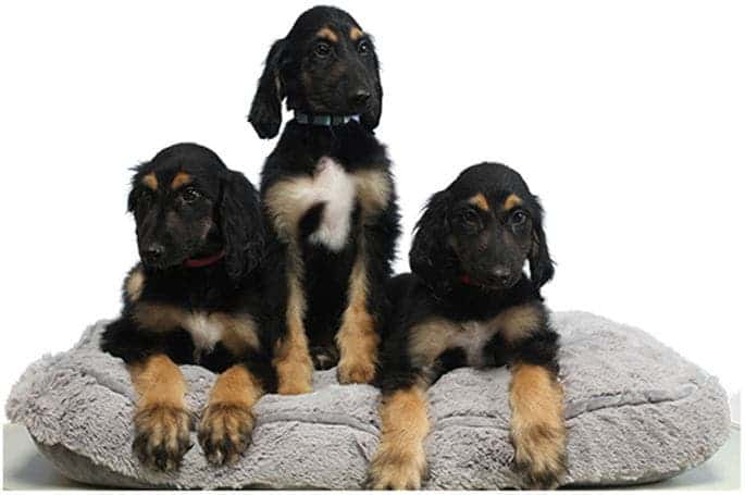 The three surviving reclones of 'Snuppy' at 2 month of age. Credit: Scientific Reports.