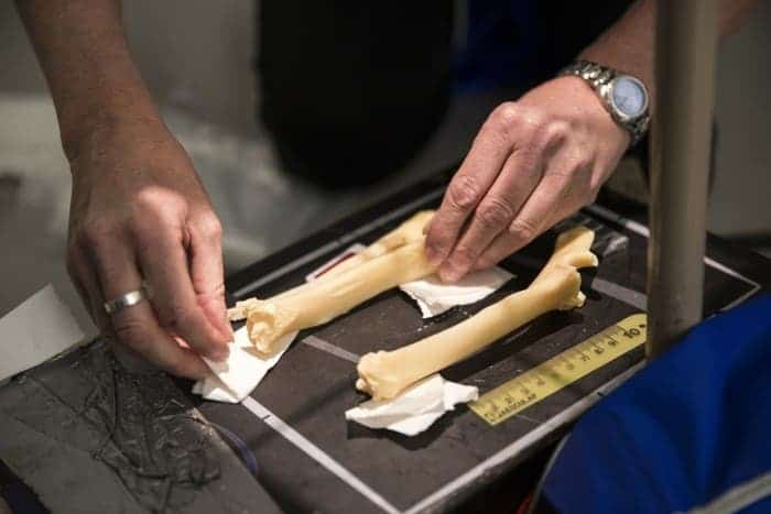 A researchers prepares a cloned sheep's bones for X-ray. Credit: University of Nottingham.