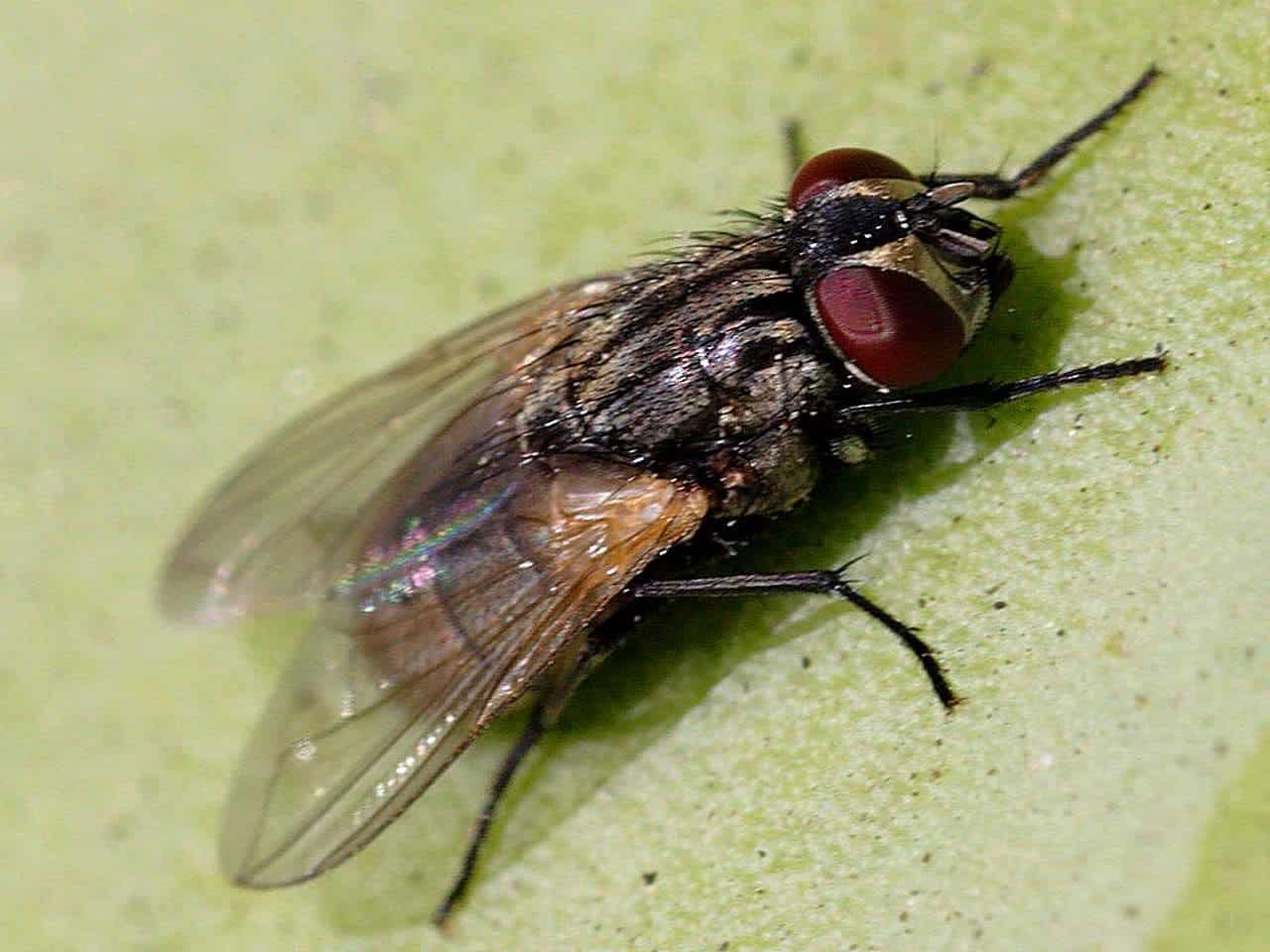 the humble fly carries even more diseases than we thought new study