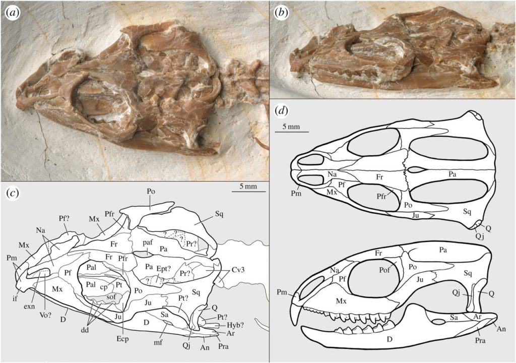 The skull of Vadasaurus herzogi