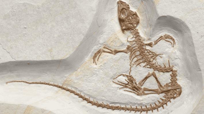 Vadasaurus herzogi.