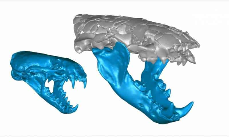 3-D skull reconstructions of the 15-pound common otter Lutra lutra (left) and th e110-pound Siamogale melilutra (right). Credit: Z. Jack Tseng.