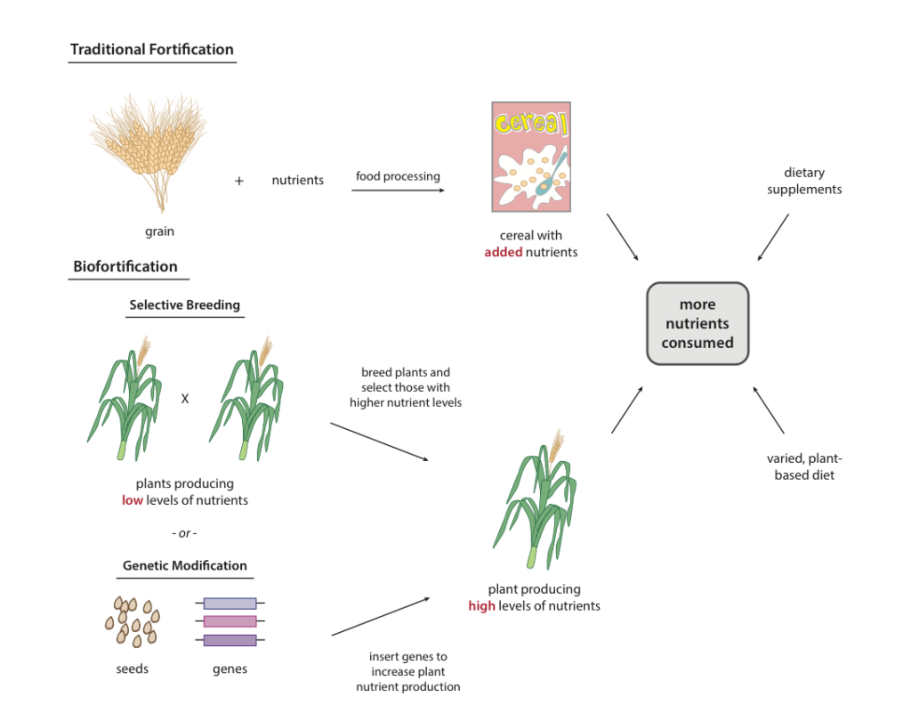 There are multiple ways to obtain necessary micronutrients (vitamins and minerals). Micronutrients can be obtained through a varied diet rich in fruits and vegetables or through supplements. Staple food fortification adds micronutrients to commonly eaten foods. Biofortified crops are bred or engineered to produce micronutrients. Credit: Harvard University.
