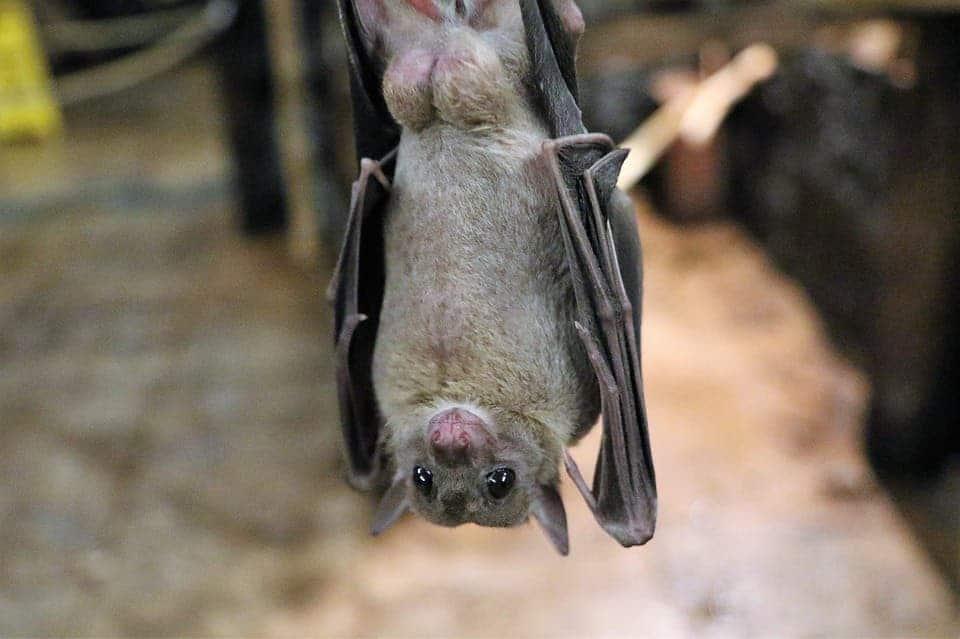 Fruit bats.