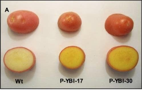 Golden potatoes, last two on the right, are far richer in vitamins A and E. The new crop might one day fight off malnutrition in developing countries. Credit: Mark Failla.