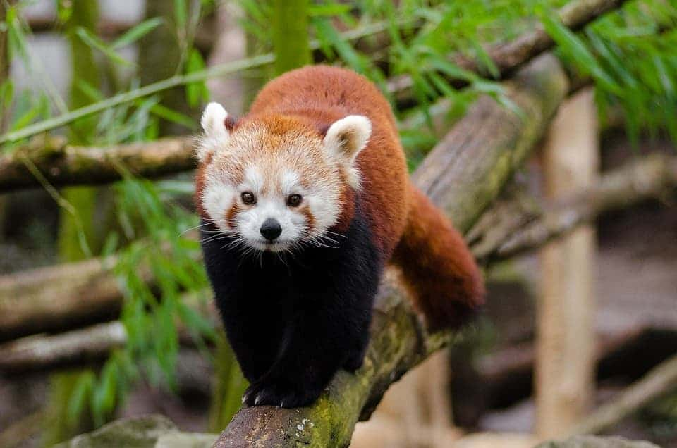 Curious Facts About Red Pandas