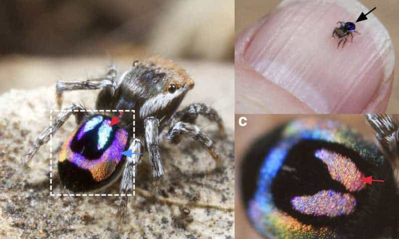 a An adult male Maratus robinsoni. b A M. robinsoni resting on a human fingernail: the spider is only ~ 2.5 mm in size. The iridescent abdomen of the spider is indicated by the black arrow. c A zoom-in view (scale bar: 200 μm) of the same spider abdomen as shown in the dashed square of a, but with different viewing angle. Credit: Nature Communications.