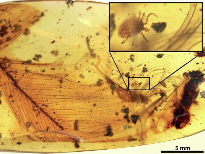 Amber discovery shows 'Dracula' sucked blood of feathered dinosaurs