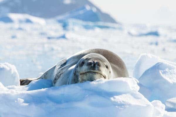 Leopard seal.