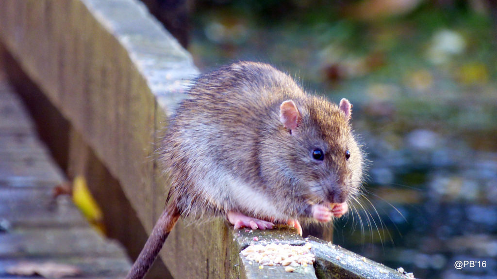 Brown Rat (Rattus norvegicus). Credit: Pete Beard, Flickr.