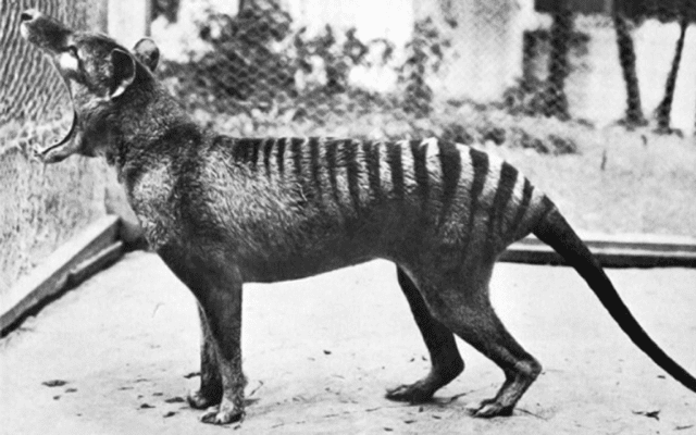 Thylacinus Cynocephalis. Credit: Public Domain.