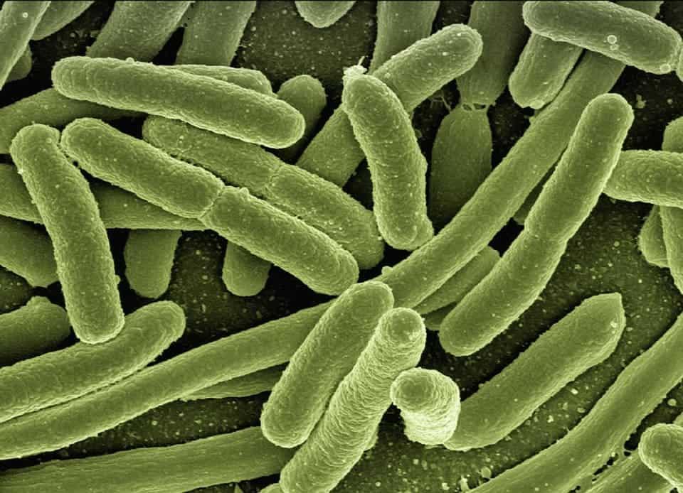 E.coli bacteria.