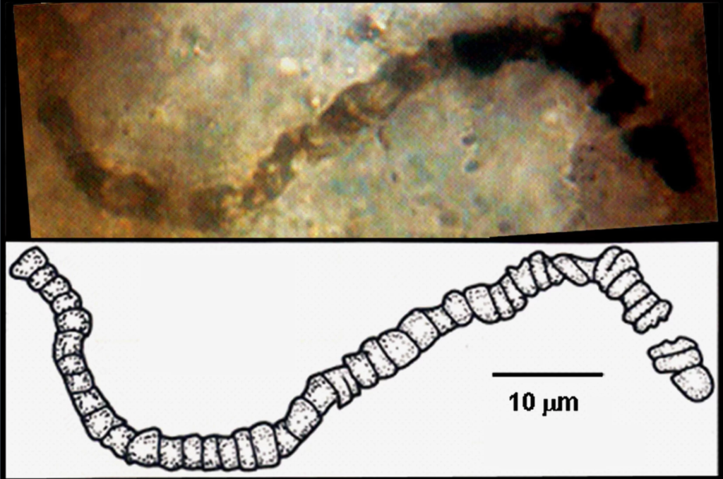 One of the microfossils discovered in a rock sample from the Apex Chert. Credit: Courtesy of J. William Schopf, UCLA