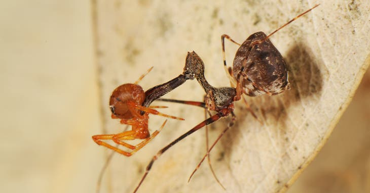 Pelican spiders like Eriauchenius workman use their beak-like jaws to impale prey -- other spiders. Credit: Hannah Wood.