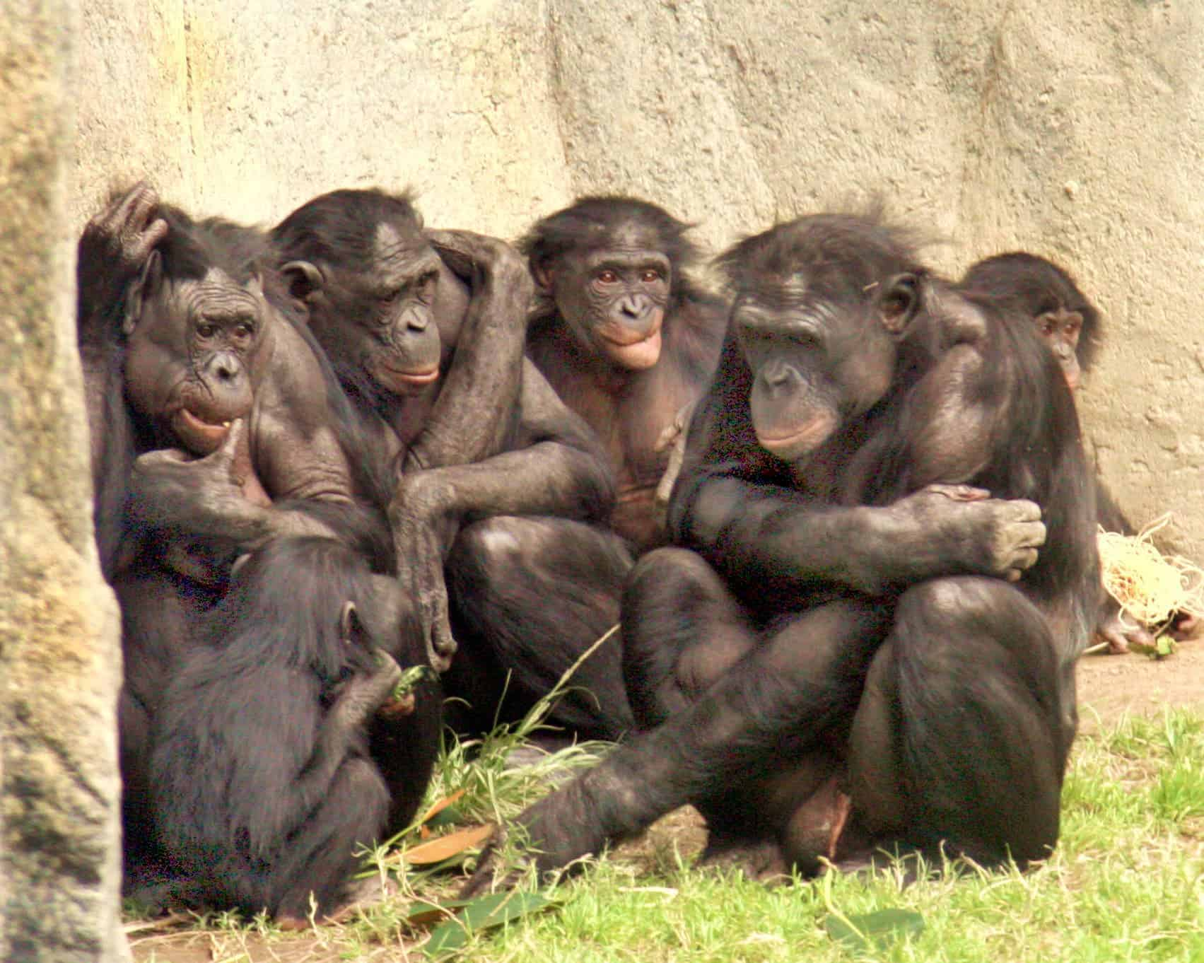 Bonobos like bullies more than helpers