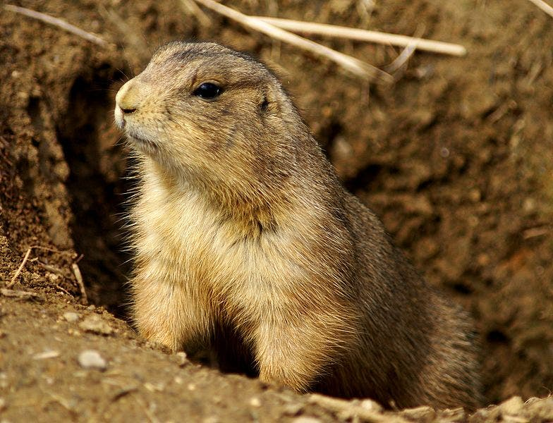 Prairie dogs are always on the lookout for danger. Credit: Wikimedia Commons.