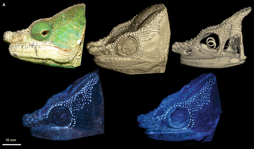 Male C. globifer (ZSM 141/2016) showing congruent tubercle/fluorescent patterns (from left to right); top row: alive in the field under sunlight, micro-CT scan of head surface (probable edge artefact in cheek region), micro-CT scan of the skull; bottom row: alive in the field under UV light, ethanol-preserved under UV light.