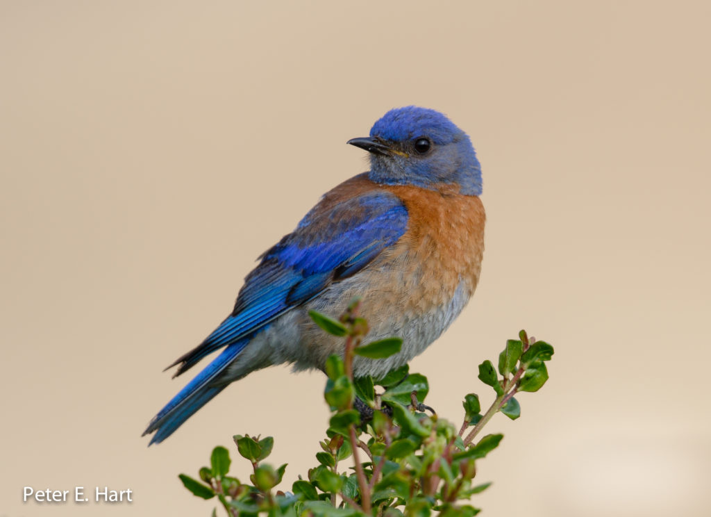 Western Bluebirds lay fewer eggs and hatch chicks with smaller bodies around noisy anthropogenic areas. Credit: Wikimedia Commons.