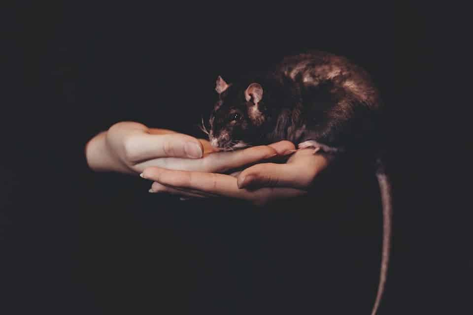 Rats (Rattus Rattus) may have been wrongly acused of commiting one of the biggest mass murders in history. Credit: Pixabay.