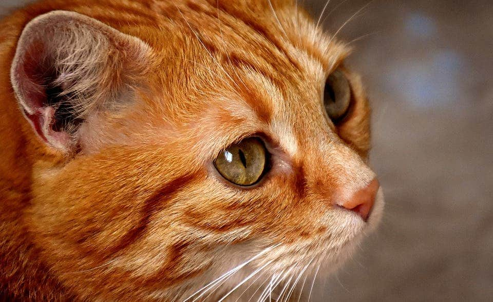 cats-vocalization