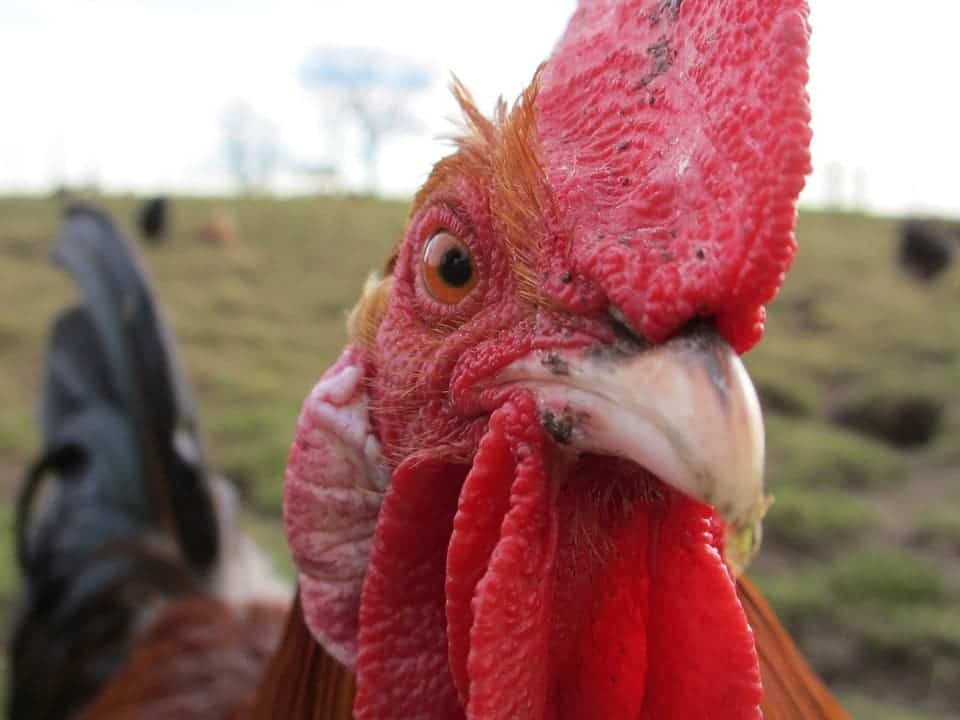 You shoulnd't stay too close to a rooster if you care about your hearing. Credit: Pixabay.