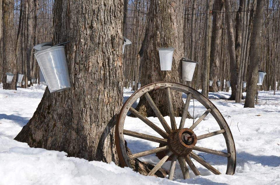 Sap being collected from maple trees during the winter. Credit: Pixabay.