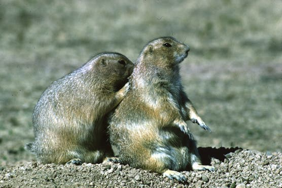 Two prairie dogs sitting near a burrow in Wind Cave National Park. Credit: National Park Service.